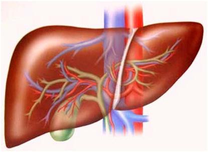 ung thư gan, tìm hiểu về ung thư gan, Bệnh viện Ung thư St.Stamford